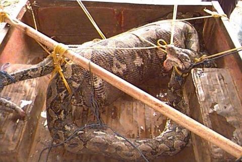 人間を飲み込んだニシキヘビ