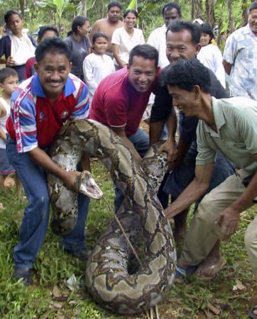 7.1mアミメニシキヘビの画像