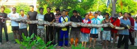 長いニシキヘビ