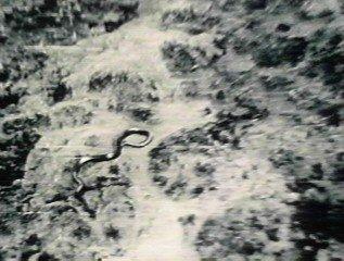 コンゴの巨大なニシキヘビ
