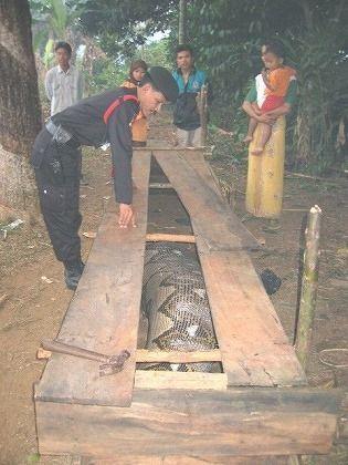 捕まった人食いニシキヘビ