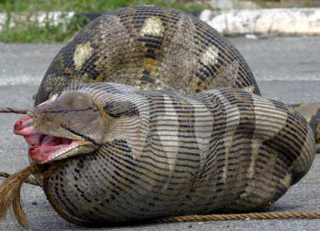 山羊を食べたニシキヘビ