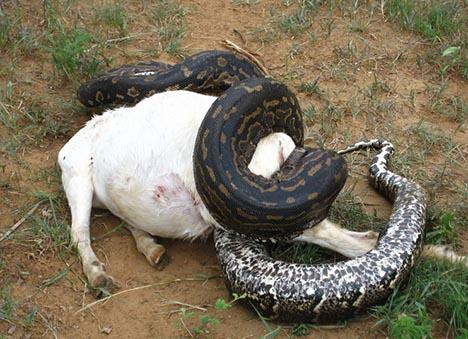 牛を食べるニシキヘビ